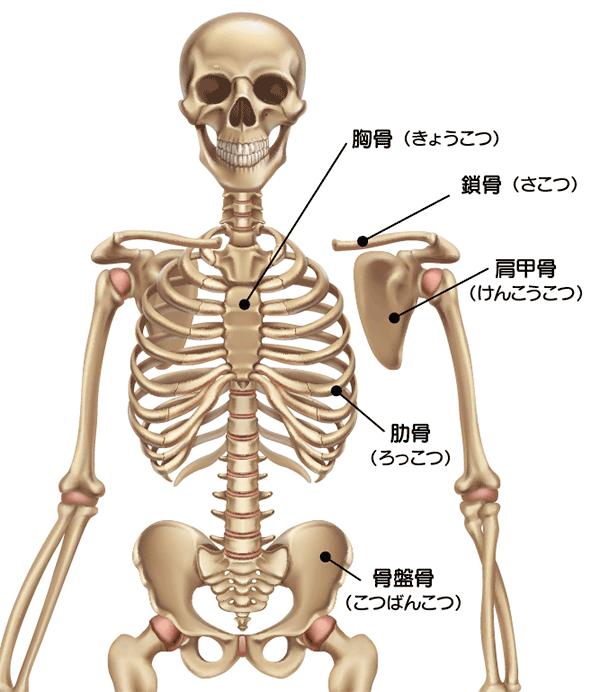 体幹骨の説明