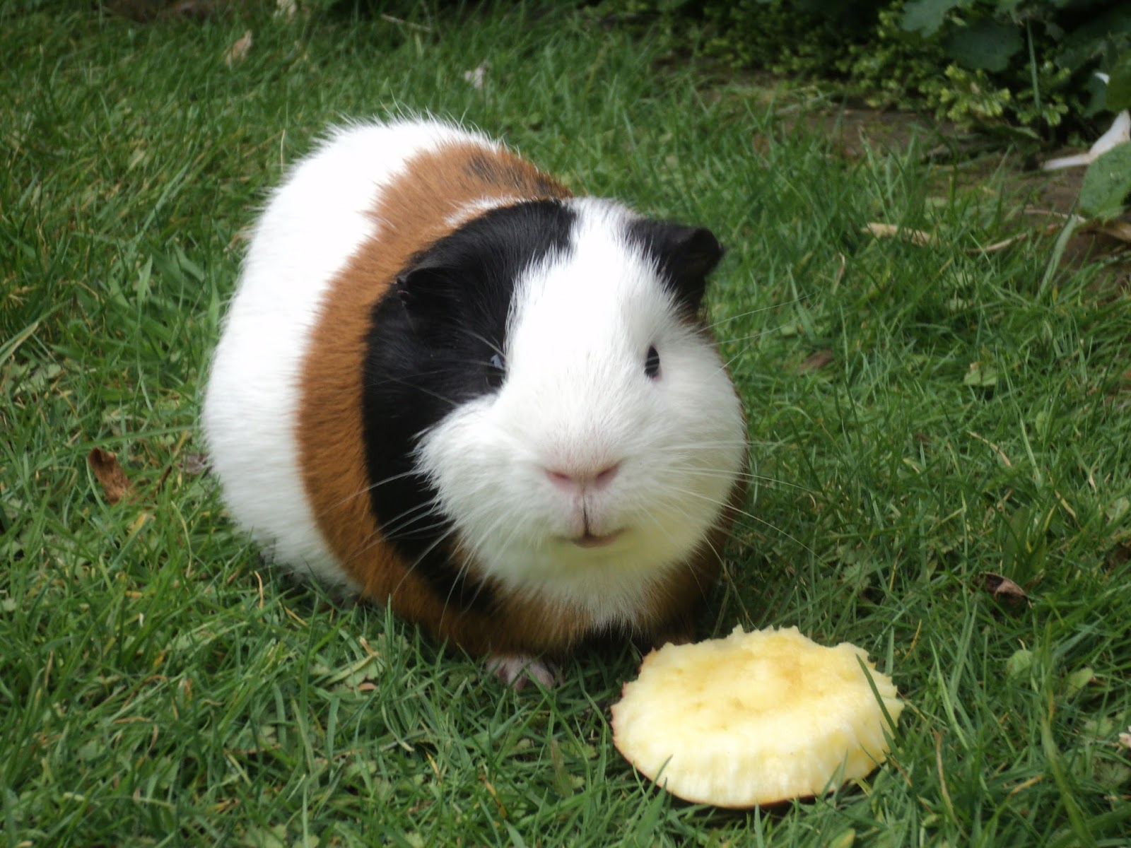 Guinea_Pig_eating_apple.JPG