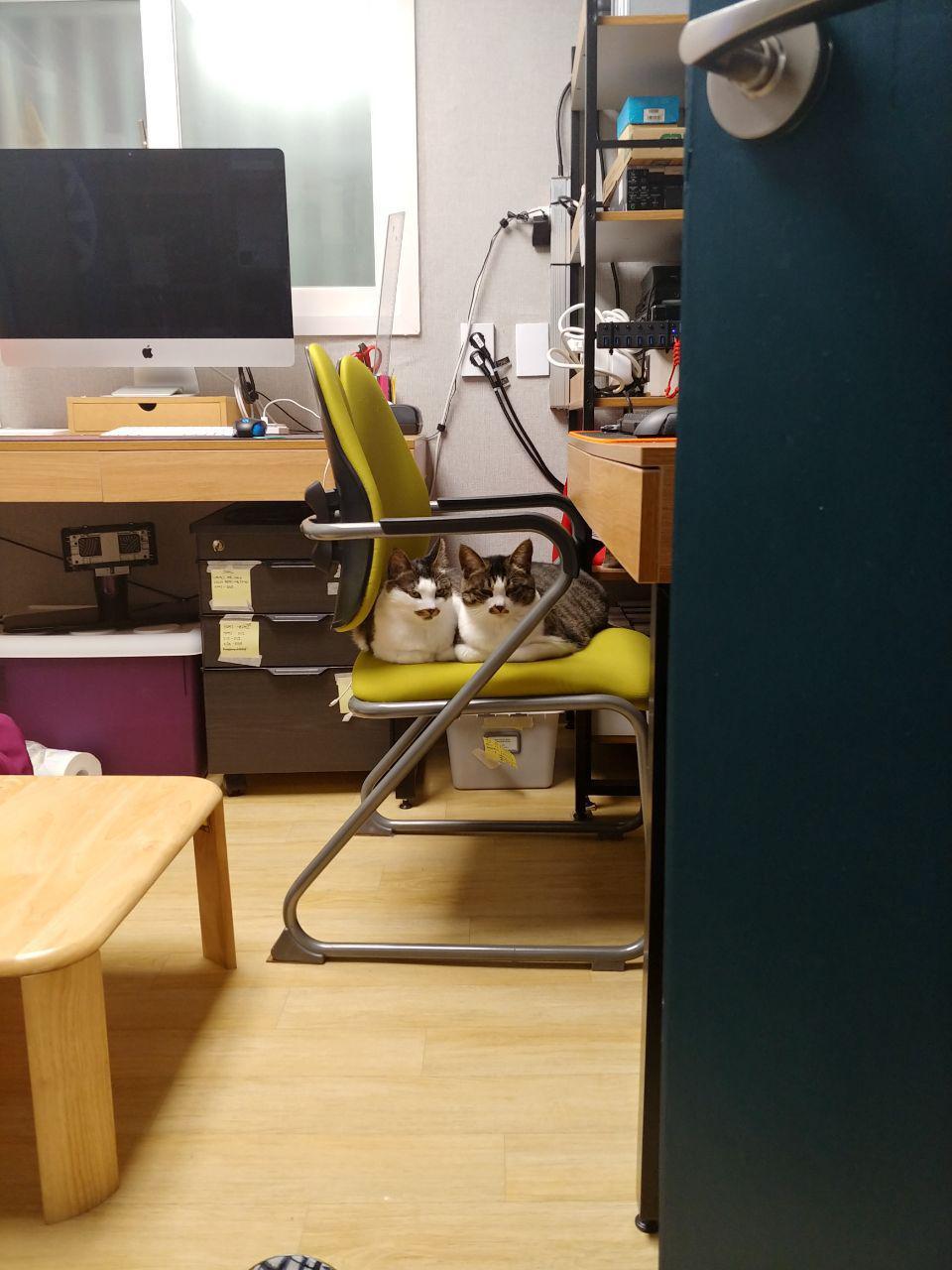 그림 2. 자막을 넣을 수 있는 컴퓨터가 있는 사무실의 공간이다. 왼편에 한 대의 컴퓨터, 그리고 오른편에는 문으로 가려졌지만 또 한 대의 컴퓨터가 있다. 오른 쪽 컴퓨터 의자 위에 고양이 옥희와 누나가 사이좋게 카메라를 향해 앉아 있다. 자막을 입히는 활동가가 없을 땐 이렇게 종종 의자 위에 올라가 있는 모습을 포착할 수 있다.