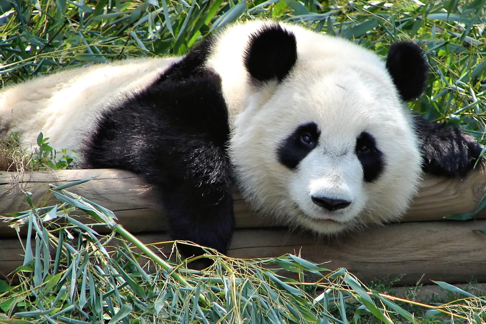 Atlanta Zoo Panda.jpg