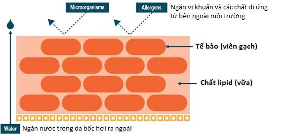 Cấu tạo của hàng rào bảo vệ da