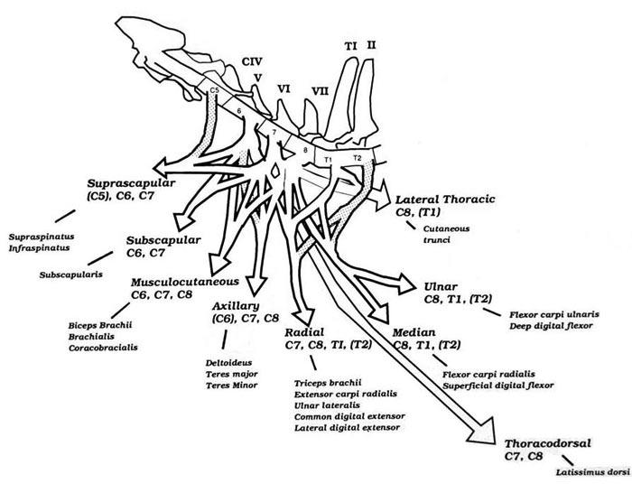 Anatomy of the brachial plexus