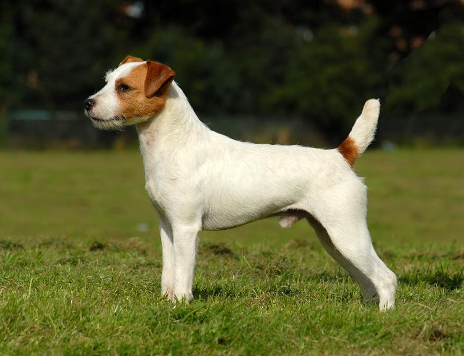 Парсон рассел терьер – фото, описание породы, цена щенков