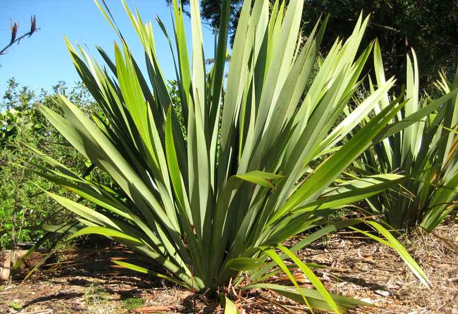 Tree-King-Flax-removal-b.jpg