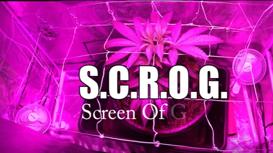 and what is scrog?
