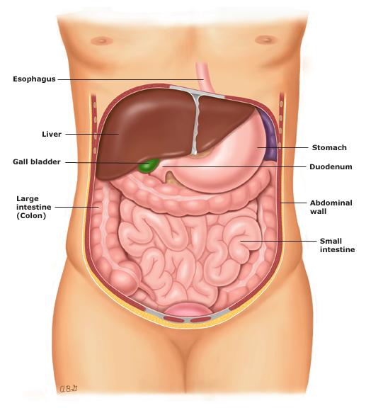 Anatomia abdominal de adulto. Fonte: UpToDate, 2021.