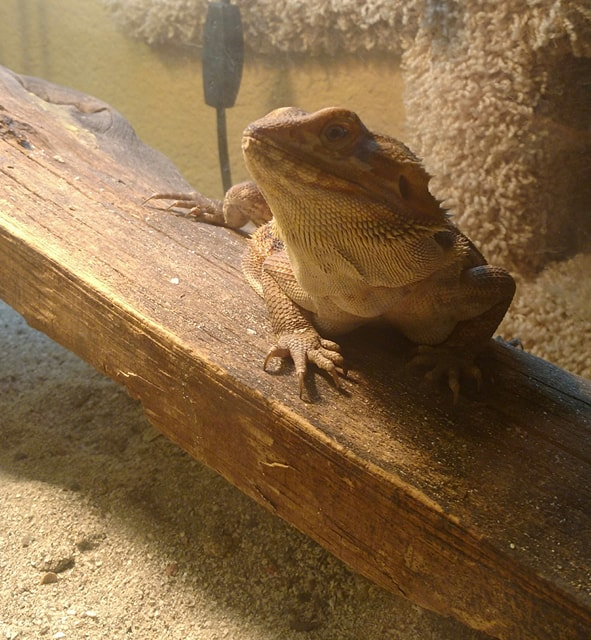 Shadow The Bearded Dragon.jpg