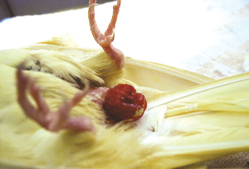 Uterine prolapse, including partial prolapse of the vagina and cloaca, in a 7-year-old cockatiel with a history of chronic egg laying