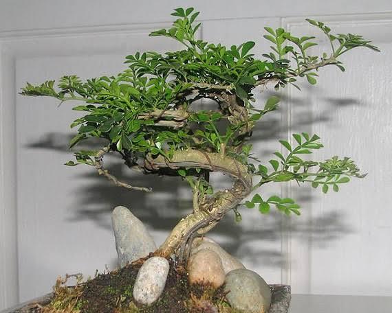9. ต้นมะสังจิ๋ว