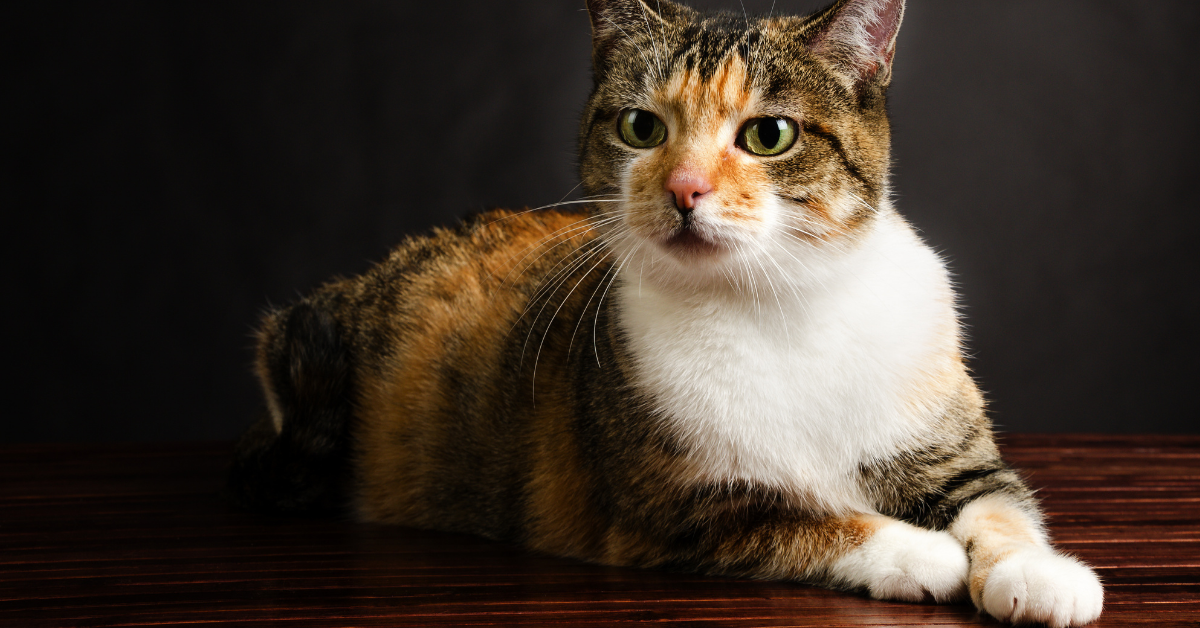 A torbie.  Notice the coat pattern and the presence of black tabby vertical stripes.