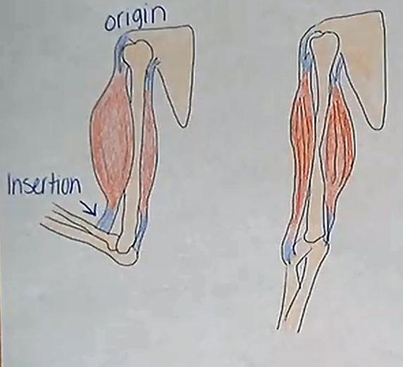 skeletalmusclesmacro.png