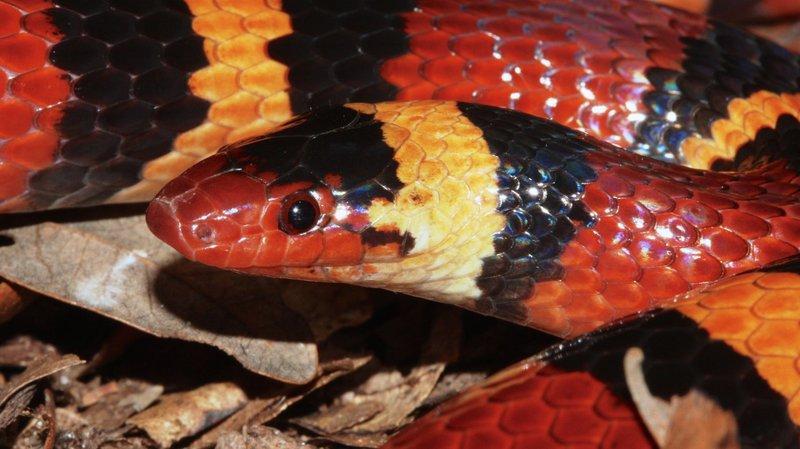 Image result for scarlet kingsnake water
