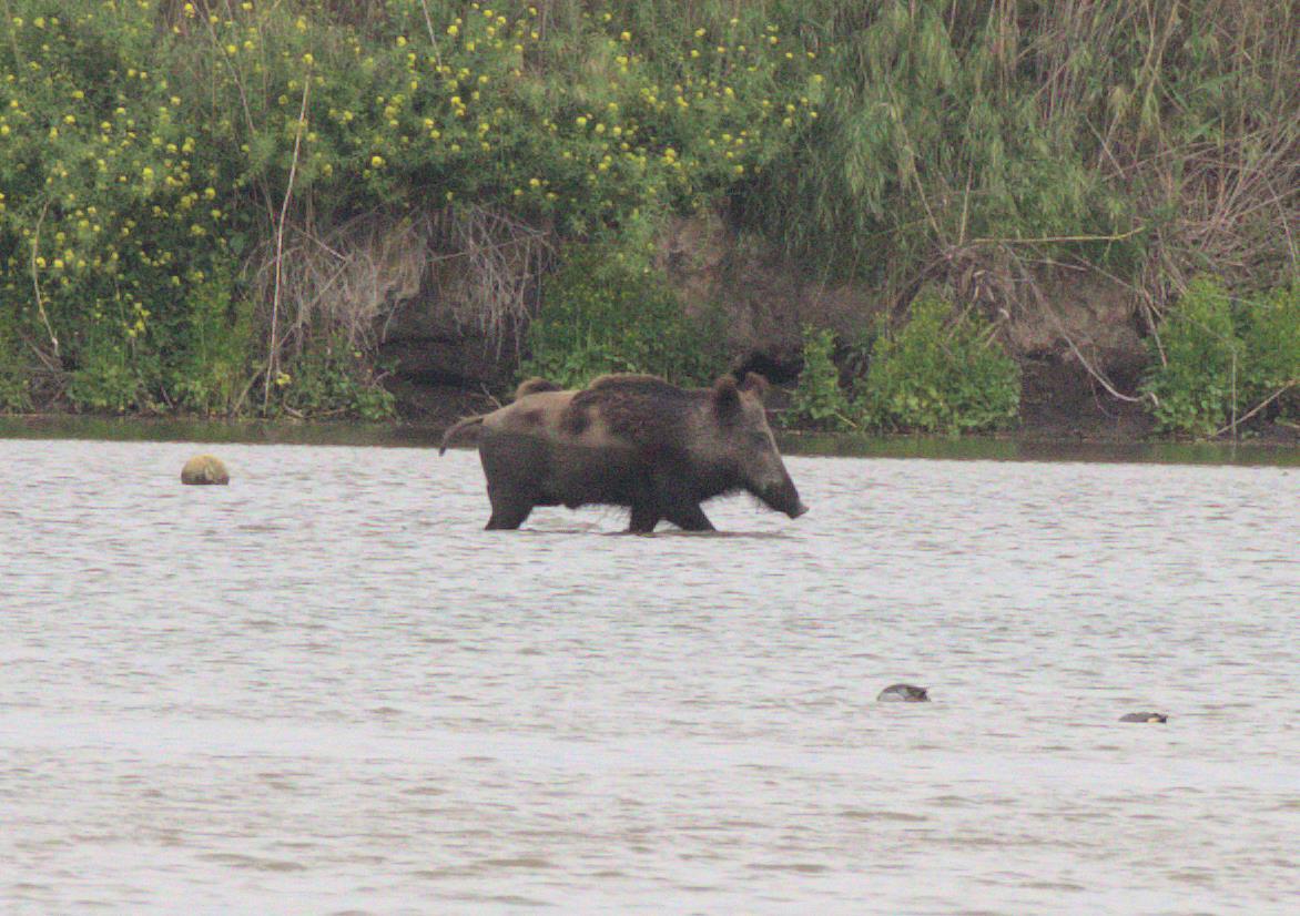 wild boar_rsz.jpg