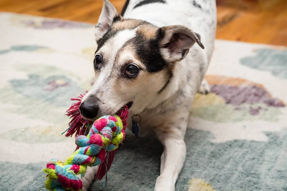 Dog willing to play with a knot