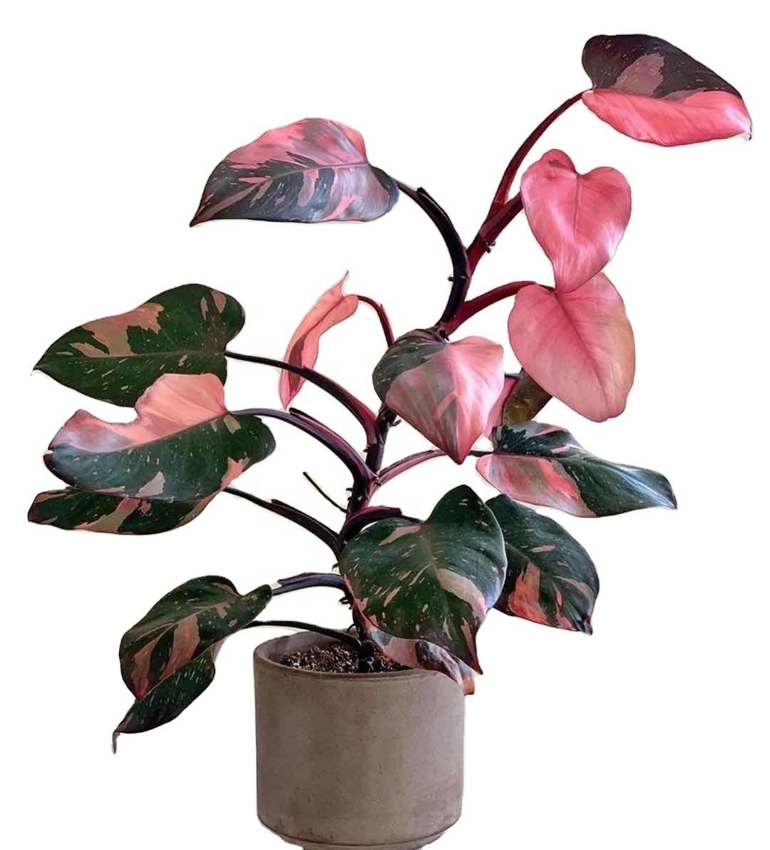 5. ต้นฟิโลเดนดรอน (Philodendron)