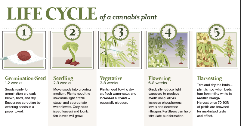 The Anatomy of a Cannabis Plant, and its Lifecycle