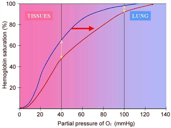 Oxyhemoglobin dissociation curve at rest (blue curve) and during exercise (red curve) showing the right shift related to the decrease in pH and the increase in temperature and PCO2.
