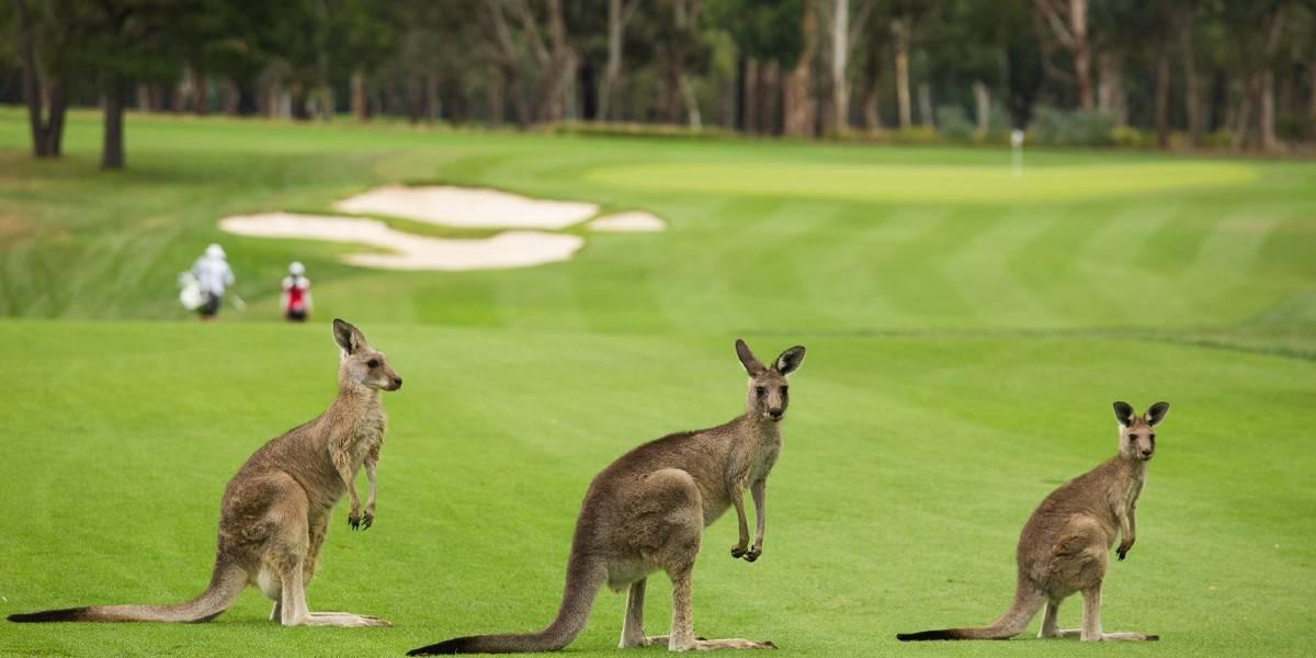 Bạn thường có thể nhìn thấy kanguru theo nhóm trên sân của Úc