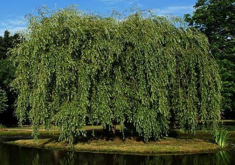 Wierzba biała, Wierzba purpurowa / Salix alba, Salix purpurea ...