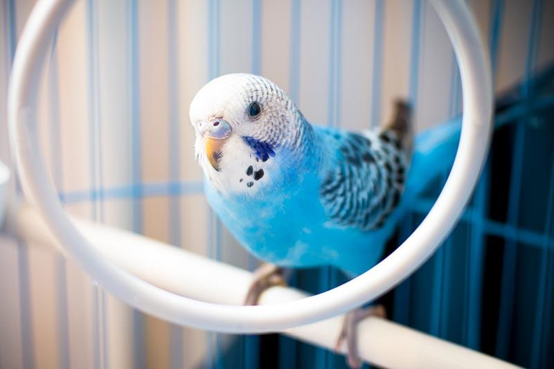 How To Look After a Budgie | Petbarn