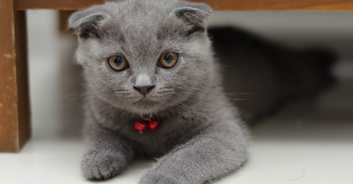 A Scottish fold.  This can is identified by the ears folding into the head.