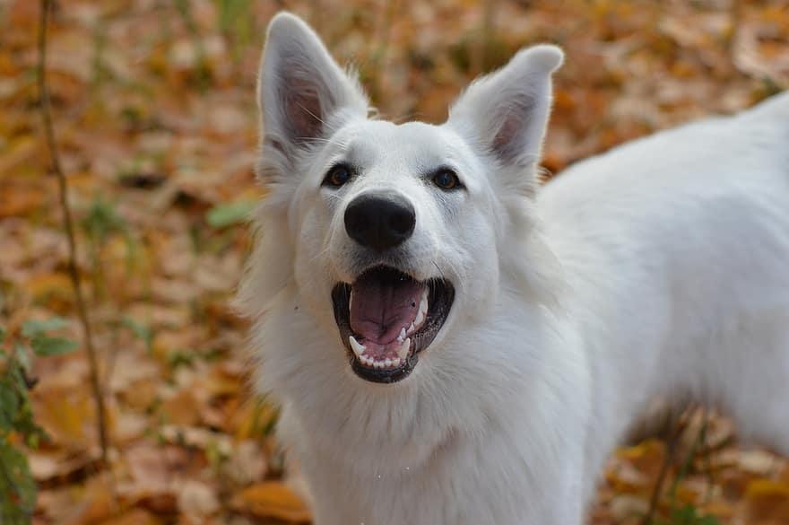 """Pour apprendre l'ordre """"debout"""" à votre chien il existe différentes manières pour s'y prendre. Permet d'appeler votre animal de compagnie rapidement après un temps d'arrêt long dans la position asisse ou couché."""