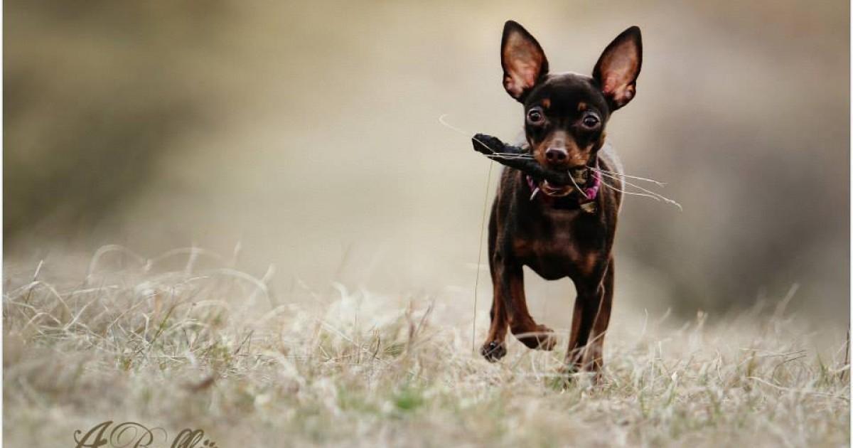 Prague Ratter Dog Breed Information