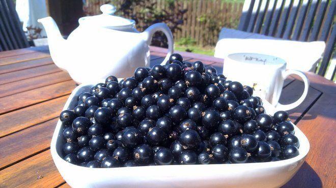 Ягоды черной смородины сорта Дачница