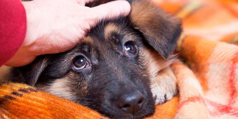 A German Shepard puppy being patted