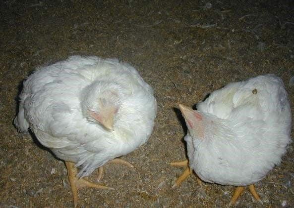 Chữa bệnh gà rù hiệu quả