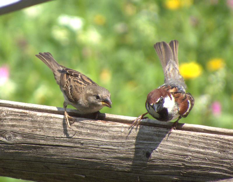 Italian sparrow_rsz.jpg