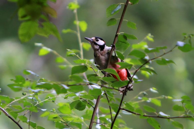 Great Spotted Woodpecker at the Sussex campsite