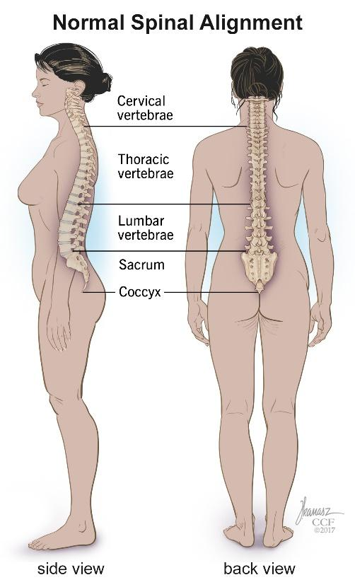 spine, illustration, cervical, lumbar, thoracic