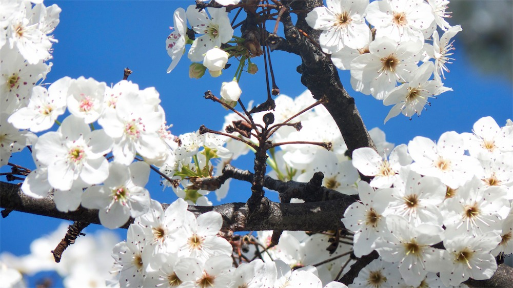 Bright White Blossoms.jpg