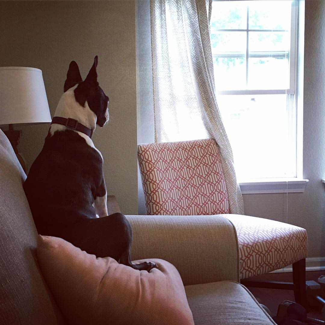 3 Reason Why Boston Terriers Are Great Watchdogs. Boston Terrier Society.