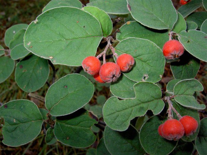 Cotoneaster integerrimus Кизильник обыкновенный