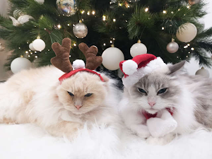 How to help your cat to feel calm at christmas