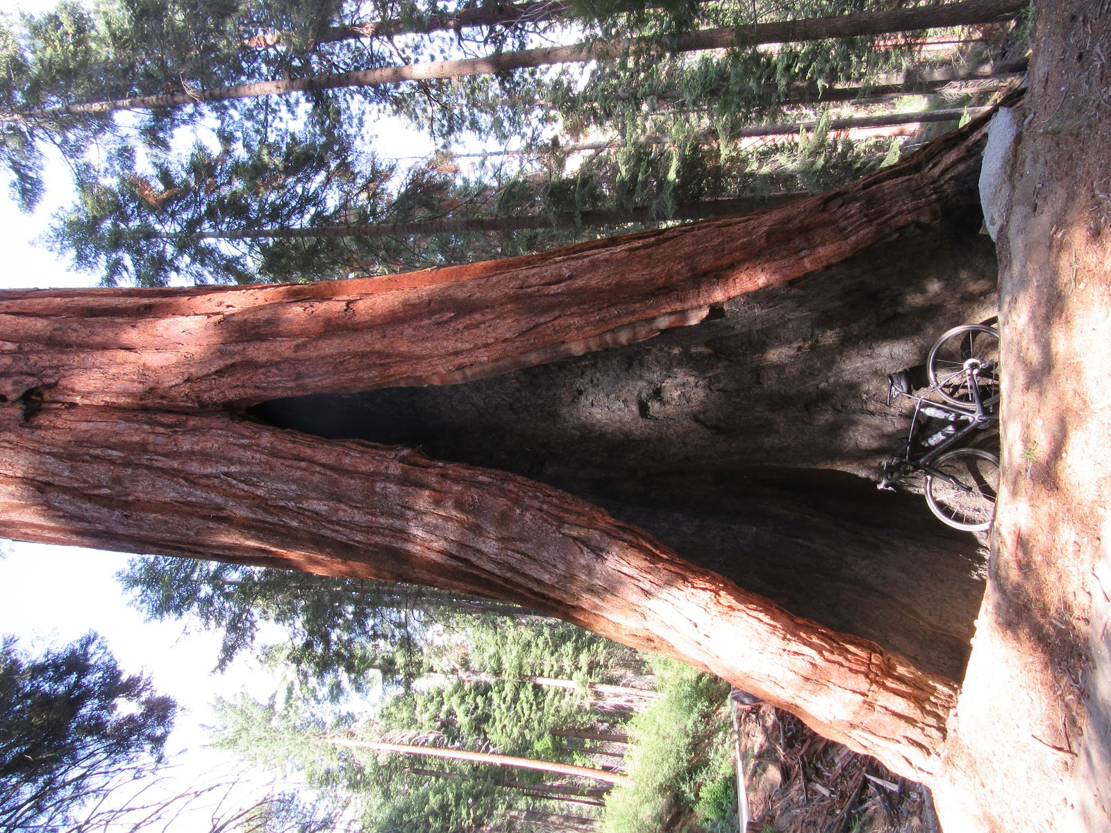 Riding bike  - bicycle inside Giant Sequoias on Mineral King Road -