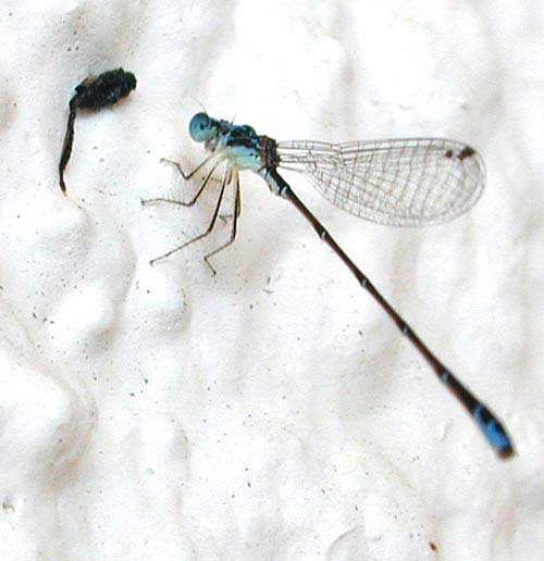 The beneficial dragonfly acts as flying insect control by consuming large numbers of pest insects