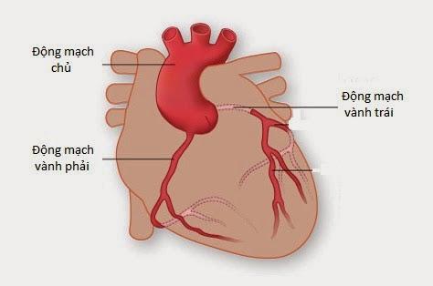Hệ mạch vành là hệ thống mạch máu nuôi tim