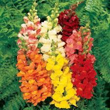 Macintosh HD:Users:sarinavetterli:Desktop:Plant and Granola Sale:Plant Images:Snapdragons.jpg