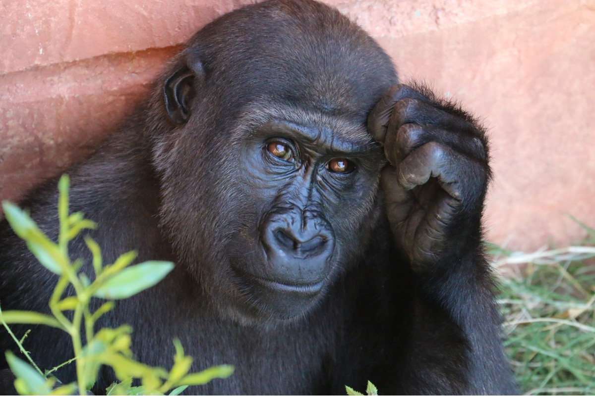 Gorilla in a thinking pose