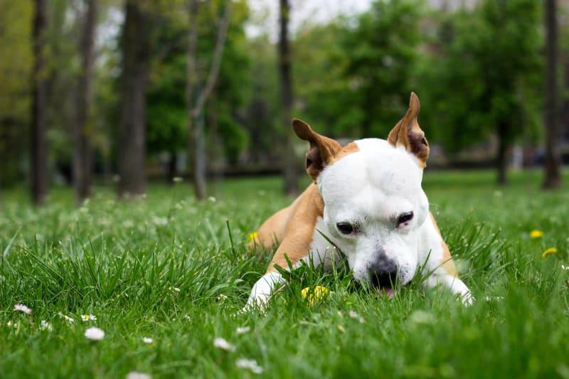 Chó ăn cỏ cũng có thể gây nguy hiểm