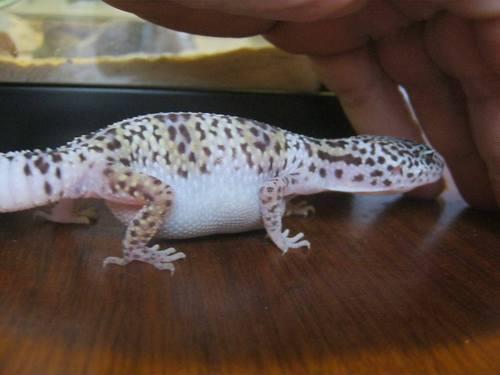 Image result for impaction leopard gecko