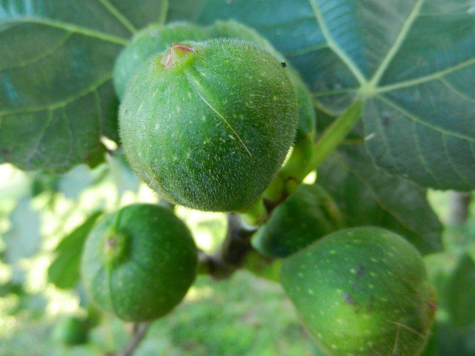 what is breba crops in fig trees