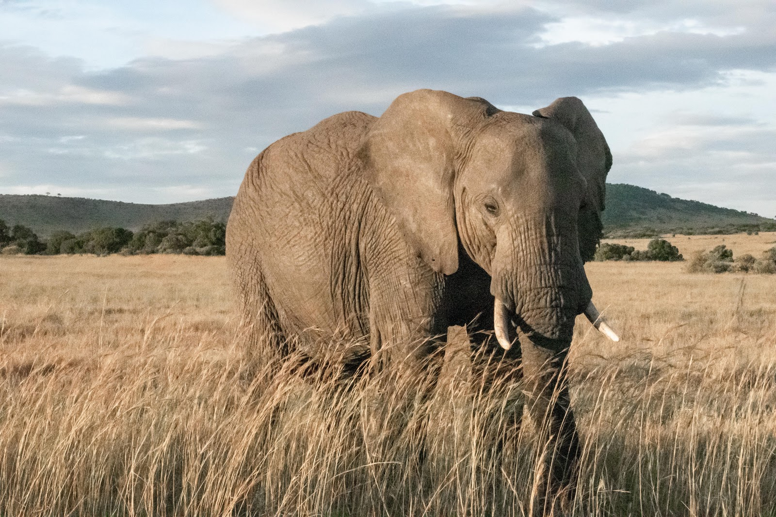 Elephant standing in tall brown grass with mountains and blue sky in the background.
