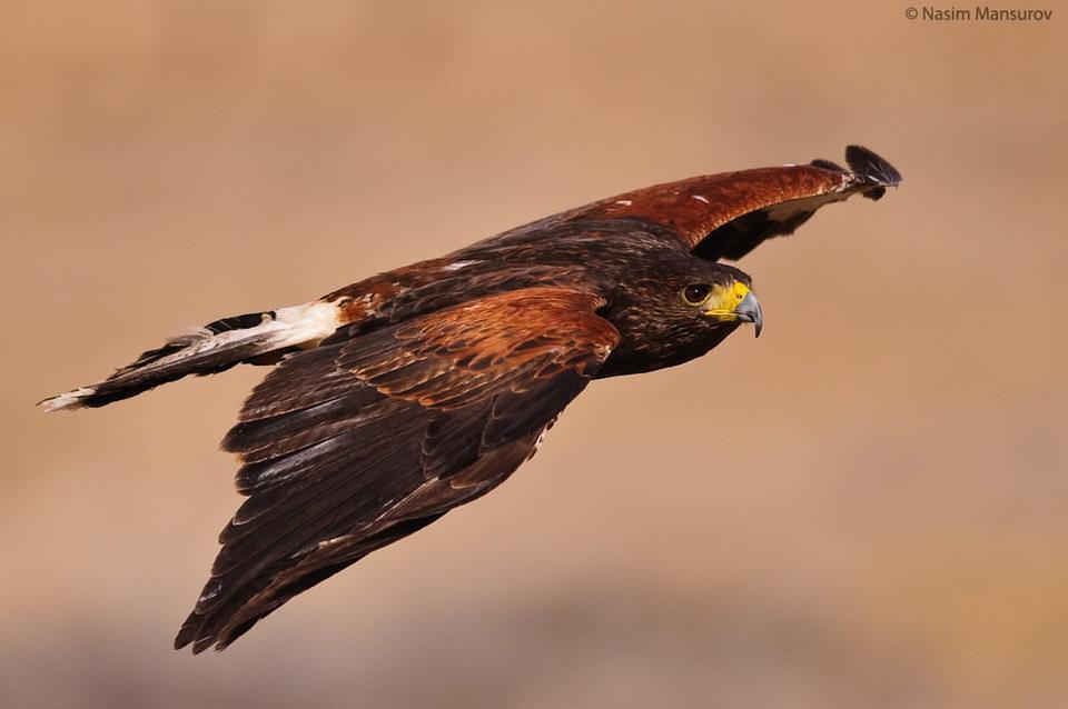 Harris's Hawk in Flight