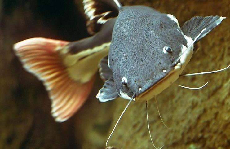Vì sao cá trê xuất hiện trong giấc mơ lại được quan tâm?