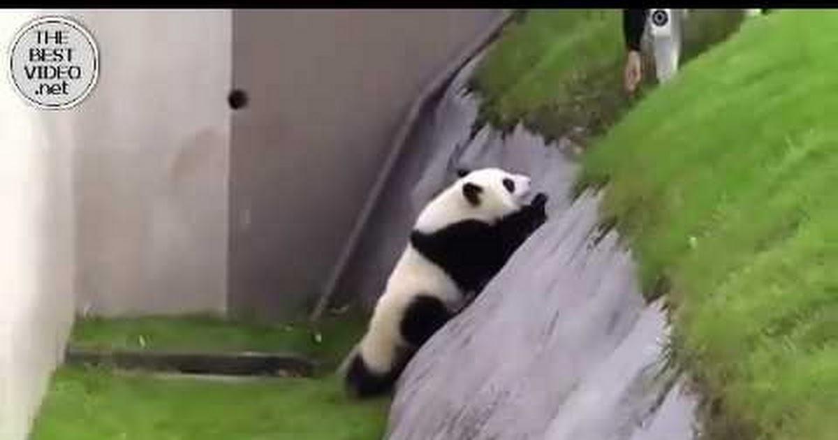 Гифка панда пьяная