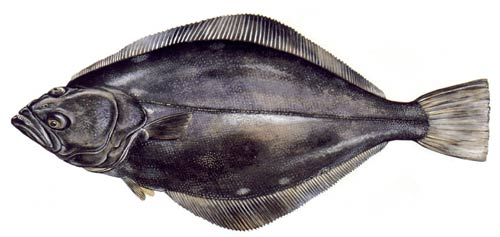 Популярные виды рыб Норвегии. Места обитания, способы ловли